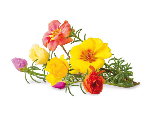 Click And Grow Moss Rose Plant Pods