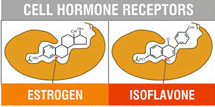 isoflavones-x-estrogen-binding.jpg