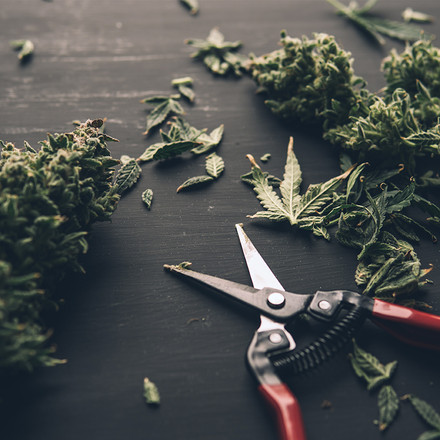 All About Trimming Cannabis
