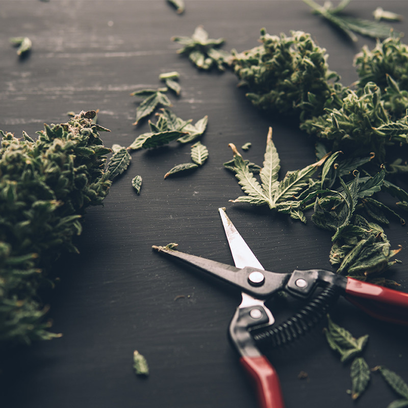 All About Trimming Hemp