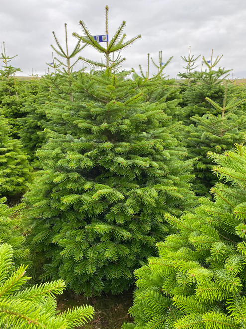 COLLECTION ONLY- Cut & Netted Value Nordmann Fir Christmas Trees