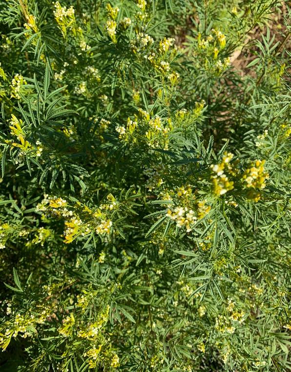 Huacatay Peruvian black mint seeds