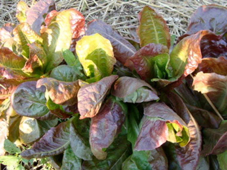 Ruben's Red Romaine Lettuce