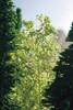 NOCH 07144 Leaves - Medium Green 50g