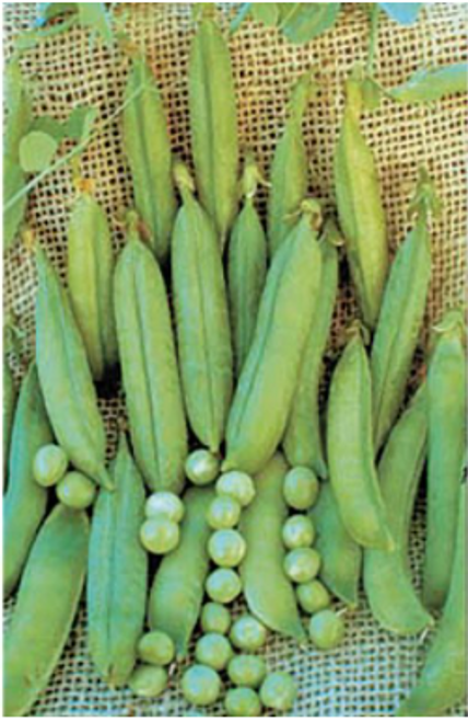 Lincoln Shelling Pea Seeds - 1/2 lb