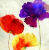 Red Yellow Poppy Flowers