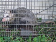 Opossum Control Solutions for Home and Garden
