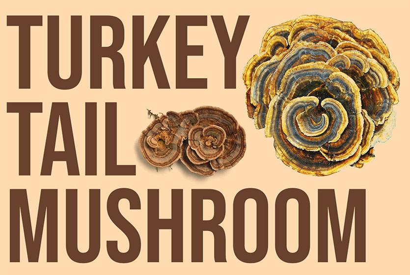 turkey tail mushroom