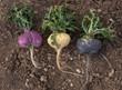 Organic Gelatinized Premium  3 Color Maca Capsules - Vegan - 750 mg - 200 ct