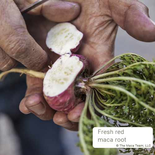 red maca root cut open