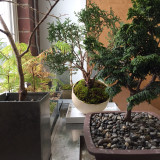 Repotting Specimen  Bonsai Trees