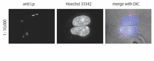 Anti Legionella pneumophila pAb (Rabbit, Antiserum)