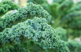 KALE - Rich in Nutrients & Pesticides!
