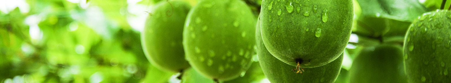 lo-han-melon-onguard.jpg