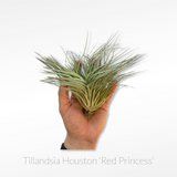 Tillandsia Air Plant - Houston 'Red Princess'