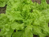 Lettuce - Black Seeded Simpson OG