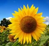 Sunflower - Mammoth Russian OG