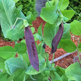 Blue-podded pea at the Seattle Seed test garden.