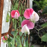 Sweet Pea - Painted Lady OG