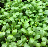 Clover for Microgreens