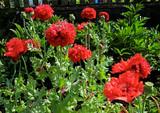 Poppy - Scarlet Peony