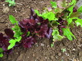 Lettuce - Red Carpet Mix