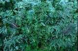 Kale - Wild Garden Mix OG