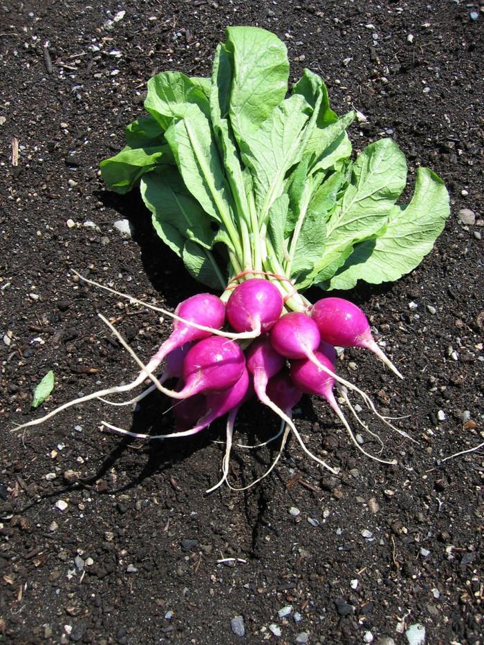 Radish - Purple Plum OG