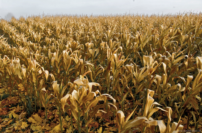 Field of Golden Corn