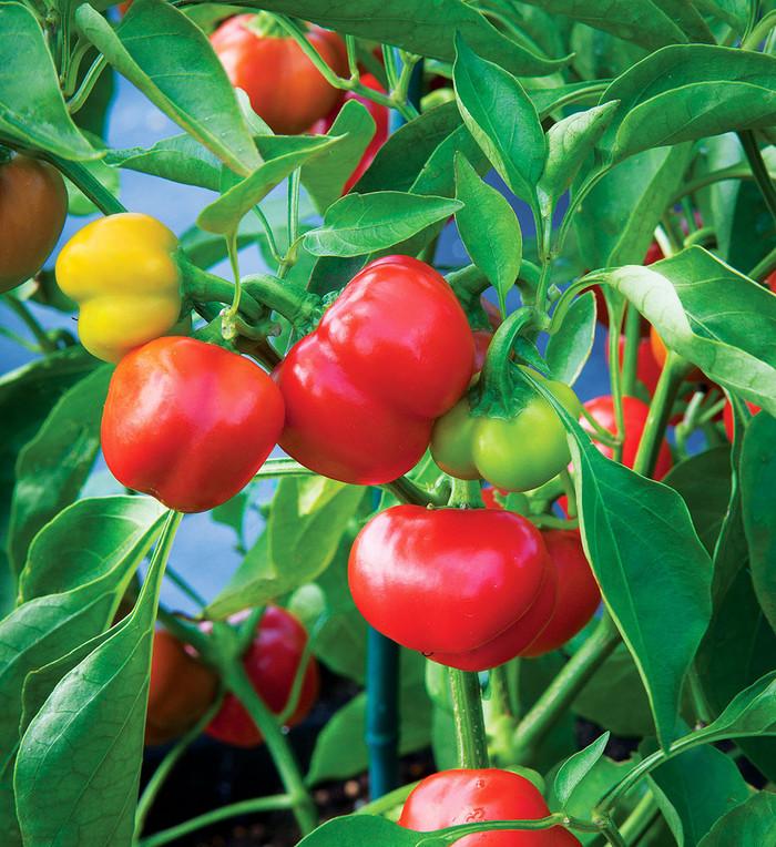Pepper - Sweet Pimiento OG
