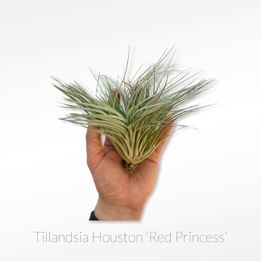 Tillandsia Air Plant - Houston 'Red Princess'