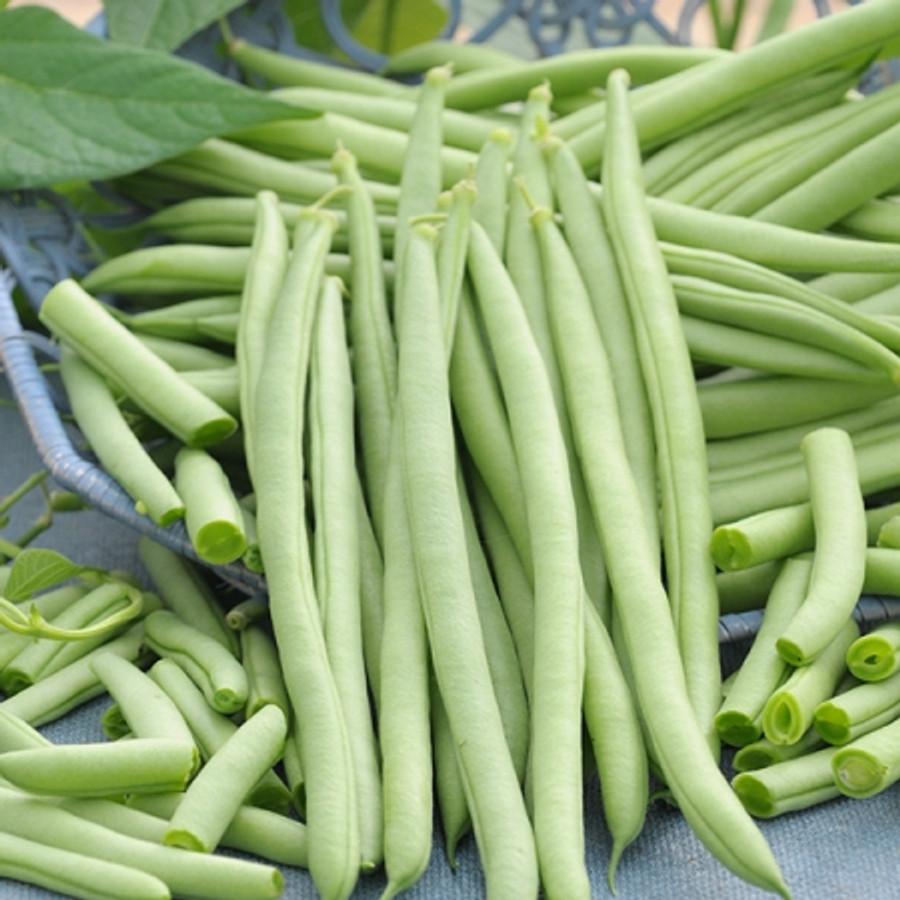 Beans - Venice (Bush)