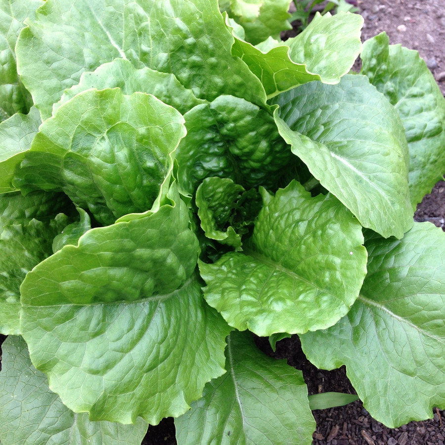 Organic Buttercrunch Lettuce from the Seattle Seed test garden