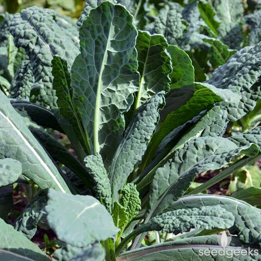 Kale - Lacinato OG