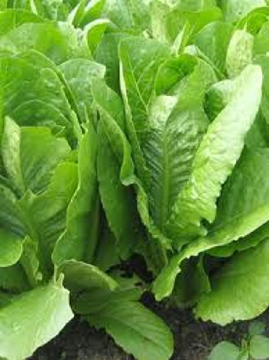 Lettuce - Romaine OG