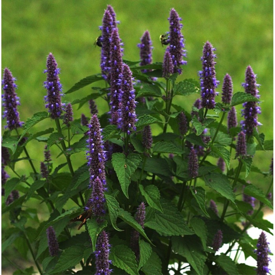 Anise - Hyssop