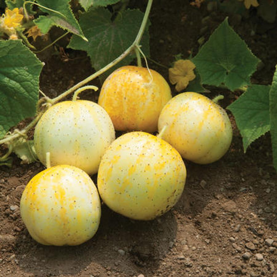 Cucumber - Lemon OG
