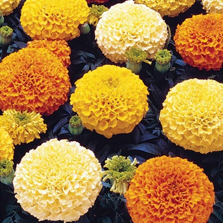 Marigold - Crackerjack