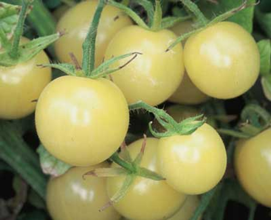 Organic Snow White Cherry Tomatoes