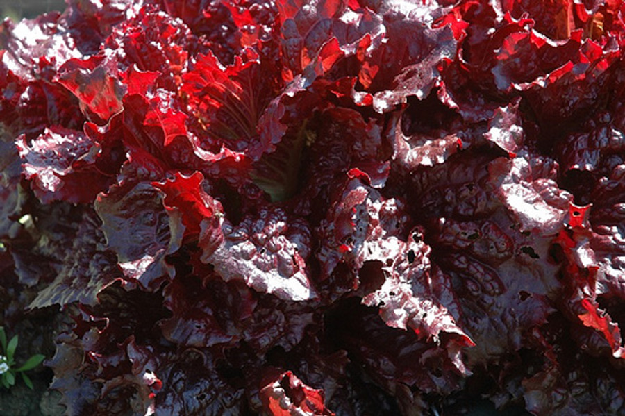 One of the deepest reds available in a lettuce