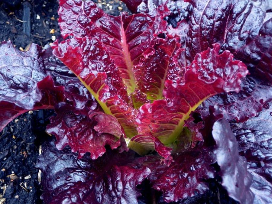 Merlot lettuce grown at the Seattle Seed test garden