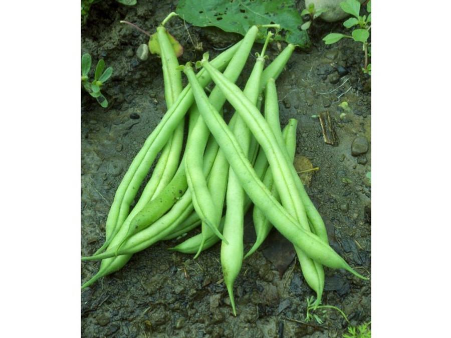 Beans - Provider Bush OG