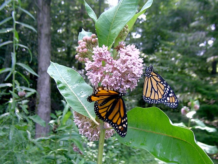 Monarchs feeding on milkweed nectar