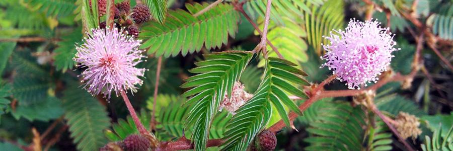 Mimosa Supreme