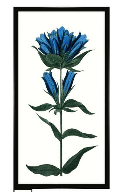 Bigelow's Blue Gentian