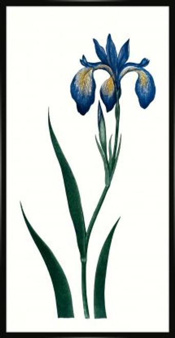 Bigelow's Blue Iris