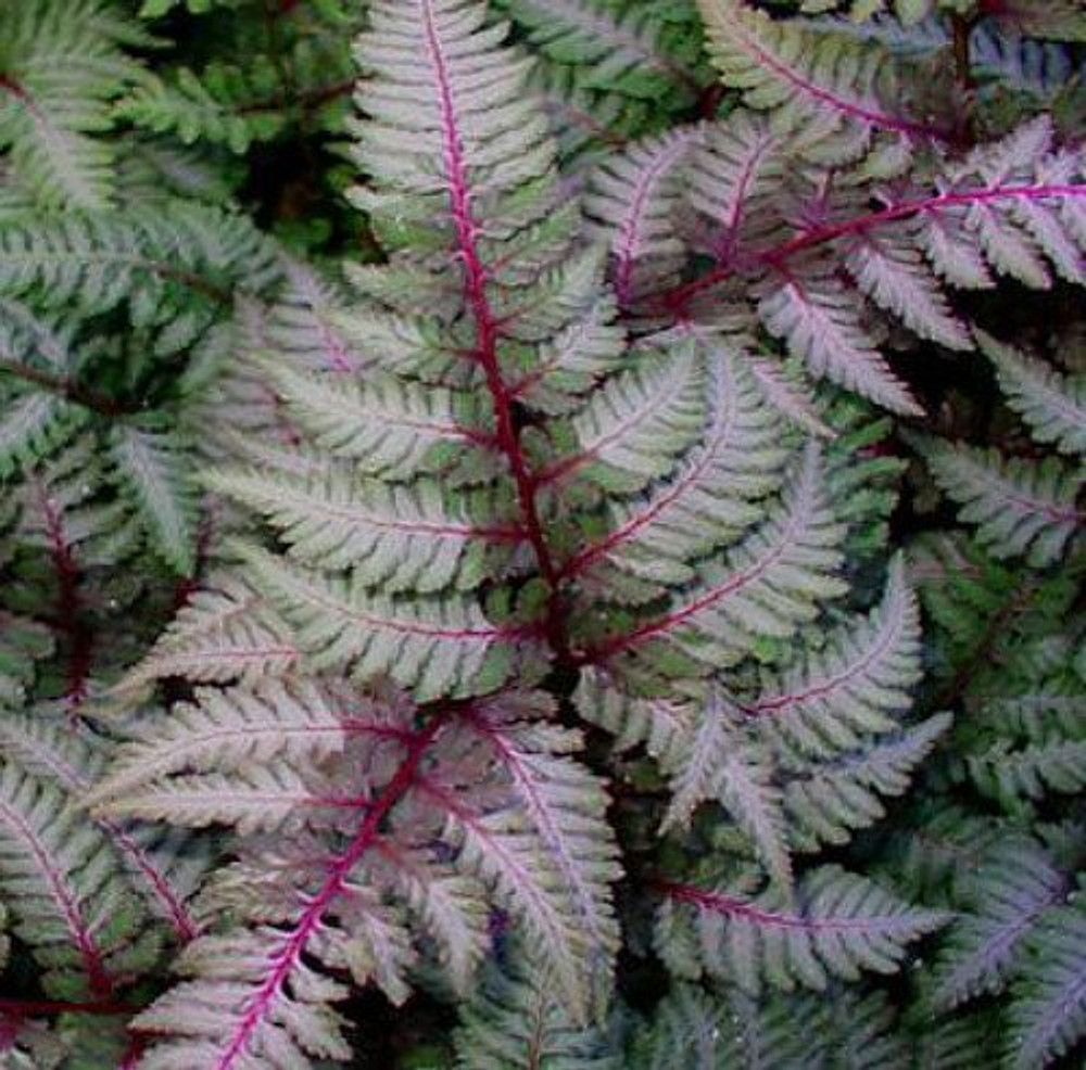 Regal Red Japanese Painted Fern - Athyrium - Shade Lover - Hardy - Quart  Pot