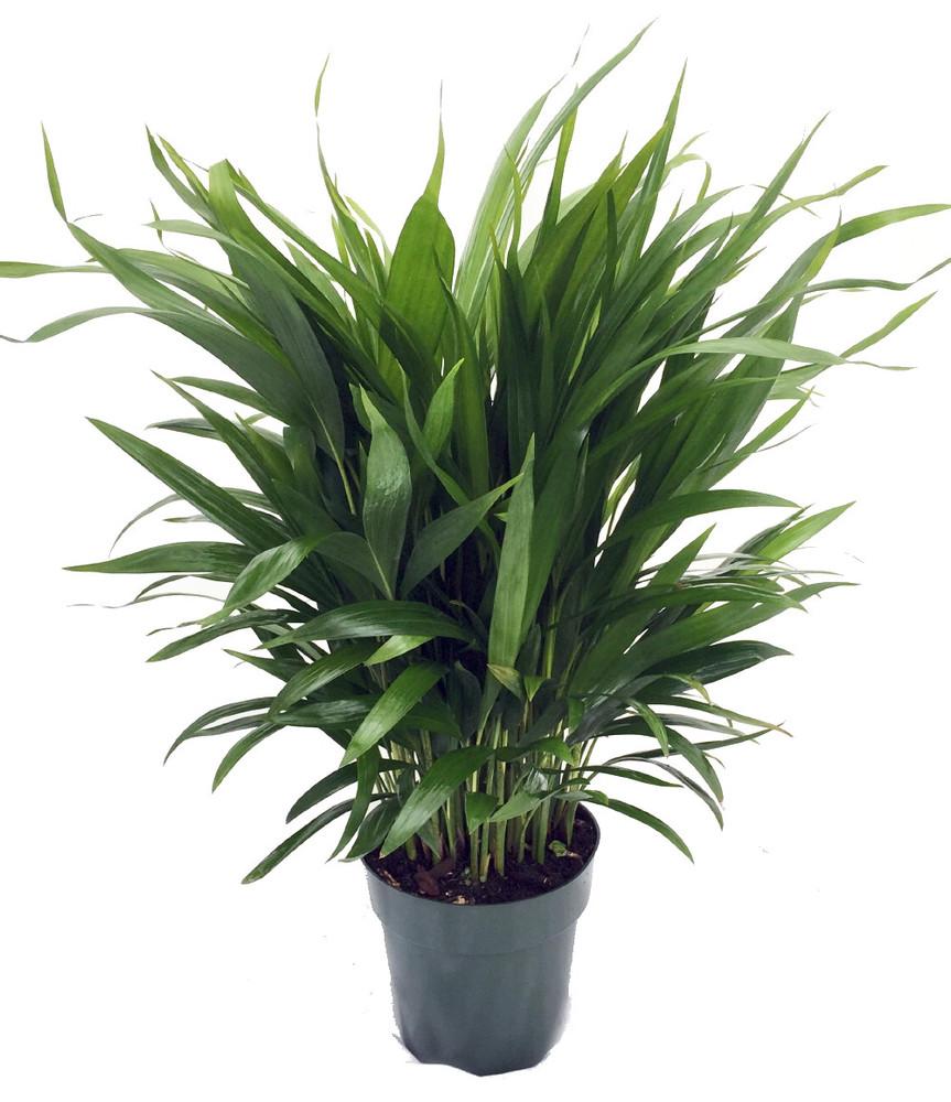 "Areca Butterfly Palm - Chrysalidocarpus lutescens - Easy House Plant - 6"" Pot"