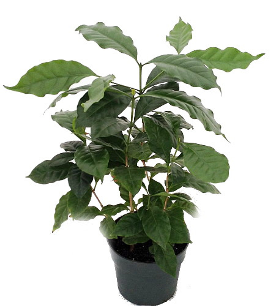 "Hirt's Arabica Coffee Bean Plant - 6"" pot - Grow & Brew Your Own"