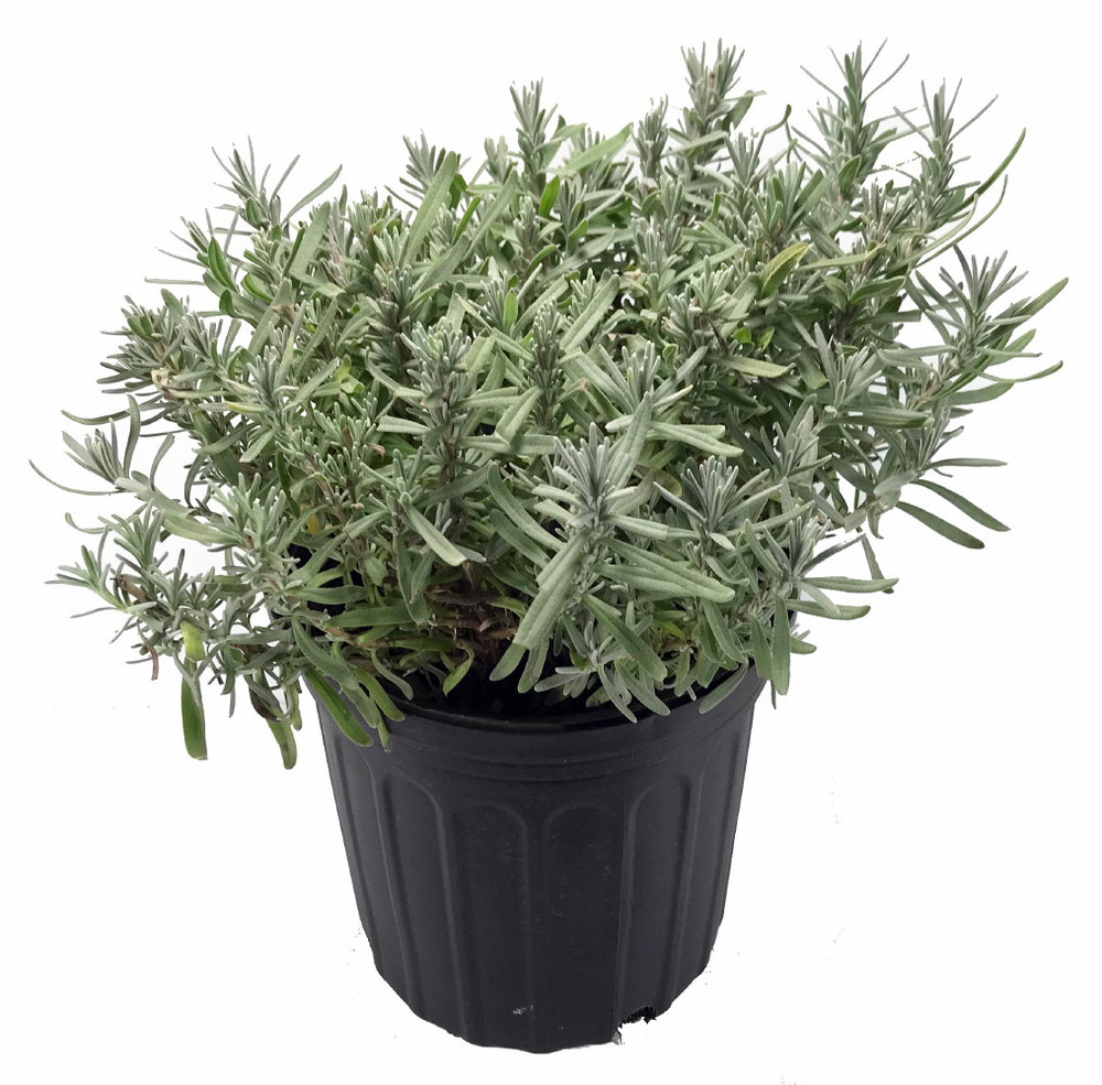 Munstead Lavender Herb - Perennial - Live Plant - Gallon Pot
